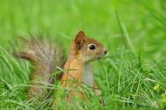 Stäng sig upp av ett sammanträde för röd ekorre i gräset royaltyfria bilder