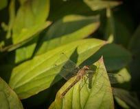 Stäng sig upp av ett sländasammanträde på ett pionblad som värma sig i set Arkivfoto