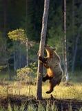Stäng sig upp av Eurasian brunbjörnklättringträd royaltyfri foto