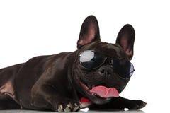 Stäng sig upp av flott fransk bulldogg med att ligga för solglasögon royaltyfria foton