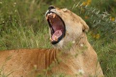 Stäng sig upp av flugan hemsökt lionness som gäspar i Ndutu Fotografering för Bildbyråer