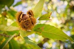 Stäng sig upp av frö för castaneaen för söta kastanjer Sativa i de skyddande spetsiga skalen Arkivfoton