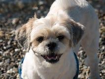 Stäng sig upp av framsida av en Shihtzu hund Arkivbild