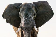 Stäng sig upp av framsidan av en afrikansk elefant fotografering för bildbyråer