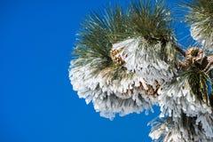 Stäng sig upp av fryst sörjer visare och kottar, på en kall vinterdag överst av Mt Hamilton, San Jose, södra San Francisco Bay om royaltyfria foton