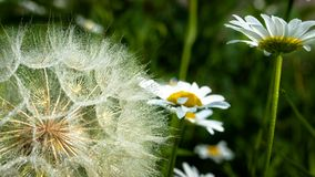 Stäng sig upp av Goastsbeard och Daisy Deatled Seeds arkivfoton