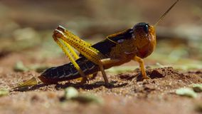 Stäng sig upp av gräshoppor som armén är på marschen i Madagacar royaltyfria foton