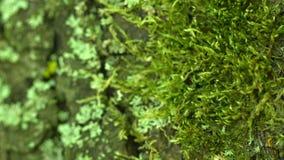 Stäng sig upp av grön mossa på trädskäll Selektivt fokusera Textur av den gamla skälleken med mossa och laven lager videofilmer