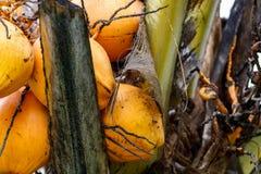 Stäng sig upp av gula orange kokosnötter i en grupp som växer på palmträdet royaltyfri bild