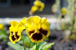 Stäng sig upp av gula pansies som växer i trädgården arkivbilder