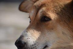 Stäng sig upp av guld- hund royaltyfria foton