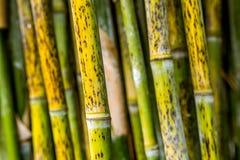 Stäng sig upp av guling och göra grön bambustammar fotografering för bildbyråer