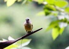 Stäng sig upp av guling-throated, eufonier, fågeln, eufoniumhirundinacea, i djungel i Belize Arkivbild