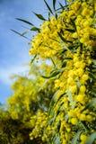 Stäng sig upp av gult akaciaträd på naturen royaltyfria bilder