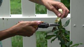 Stäng sig upp av händer som beskär gula rosor med sax stock video