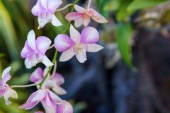 Stäng sig upp av härlig orkidé i trädgården i vinter eller fjädra kan använda för bakgrund eller vykort Arkivbild
