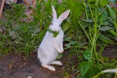 Stäng sig upp av härlig vit kanin i en trädgård royaltyfri bild