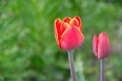Stäng sig upp av härliga röda och gula tulpan för blomning i trädgården i vår färgrik fjäder för bakgrund solig dag Arkivfoto