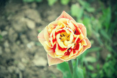 Stäng sig upp av härliga röda och gula tulpan för blomning i trädgården i vår färgrik fjäder för bakgrund solig dag Arkivfoton