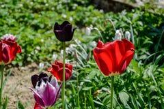 Stäng sig upp av härliga röda och svarta tulpan för blomning i trädgården i vår Färgglad vårbakgrund solig dag Arkivbild