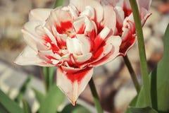 Stäng sig upp av härliga röda och vita tulpan för blomning i trädgården i vår färgrik fjäder för bakgrund solig dag Arkivbild