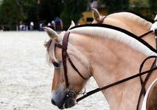 Stäng sig upp av hästar för en fjord på en dressyrhändelse Royaltyfria Bilder