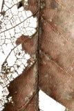 Stäng sig upp av hösten torkade bladet, bryna brun lövverk, makrosikt på textur vissnade höstsidor som isoleras på vit bakgrund Royaltyfri Bild