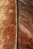 Stäng sig upp av hösten torkade bladet, bryna brun lövverk, makrosikt på textur vissnade höstsidor som isoleras på vit bakgrund Arkivbilder