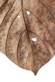 Stäng sig upp av hösten torkade bladet, bryna brun lövverk, makrosikt på textur vissnade höstsidor som isoleras på vit bakgrund Royaltyfri Fotografi