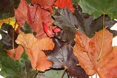 Stäng sig upp av höstsidor, bekant för att vara en härlig tid av året tema av att ändra för säsonger arkivbilder