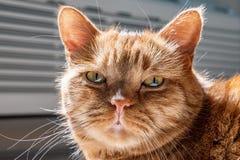 Stäng sig upp av Halva-perser orange katt med gröna ögon som ser kameran royaltyfria bilder