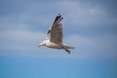 Stäng sig upp av himmel för bevor för fiskmås i flykten en blå Arkivbild