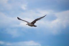 Stäng sig upp av himmel för bevor för fiskmås i flykten en blå Royaltyfria Bilder