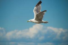 Stäng sig upp av himmel för bevor för fiskmås i flykten en blå Royaltyfri Fotografi
