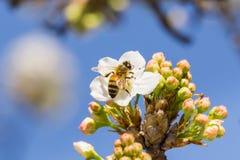 Stäng sig upp av honungbiet på ett blommande fruktträd, Kalifornien Fotografering för Bildbyråer