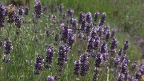Stäng sig upp av honungbin som samlar pollen från lavendelblommor arkivfilmer