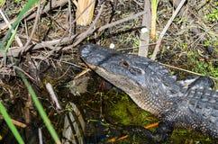 Stäng sig upp av huvudet av en amerikansk alligator Royaltyfria Bilder