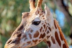 Stäng sig upp av huvudet av en giraff royaltyfri foto