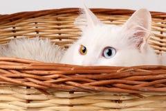 Stäng sig upp av huvudet av en vit, udda synade kattblått och bärnsten färgade ögon som kikar ut ur en korg royaltyfri bild