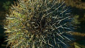 Stäng sig upp av kaktuskakturs i varm öken med ryggar och taggar royaltyfria foton