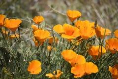 Stäng sig upp av Kalifornien vallmor Fotografering för Bildbyråer