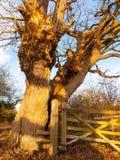 Stäng sig upp av kalt gammalt trädskäll med staketbygdsolljus Arkivbild