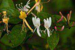 Stäng sig upp av Kaprifol-vit, guld och lilor Arkivbild