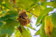 Stäng sig upp av klart att falla Sativa frö för den kastanjebruna castaneaen i de skyddande spetsiga skalen Royaltyfri Bild