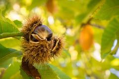 Stäng sig upp av klart att falla Sativa frö för den kastanjebruna castaneaen i de skyddande spetsiga skalen Royaltyfria Foton