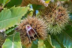 Stäng sig upp av klart att falla Sativa frö för kastanjcastaneaen i de skyddande spetsiga skalen Arkivbilder