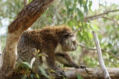 Stäng sig upp av koala Arkivfoton