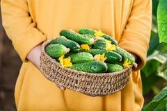Stäng sig upp av kvinnan som rymmer en korg av nya gurkor Fotografering för Bildbyråer