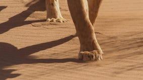 Stäng sig upp av kvinnliga lejonets ben i afrikansk bushveld, den Namib öknen, Namibia arkivbilder