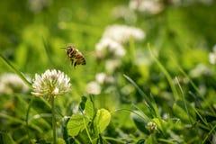 Stäng sig upp av löst bi i mitt--luft bredvid en blomma Arkivbild